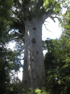 Kauri Tree, 2,000 years old.
